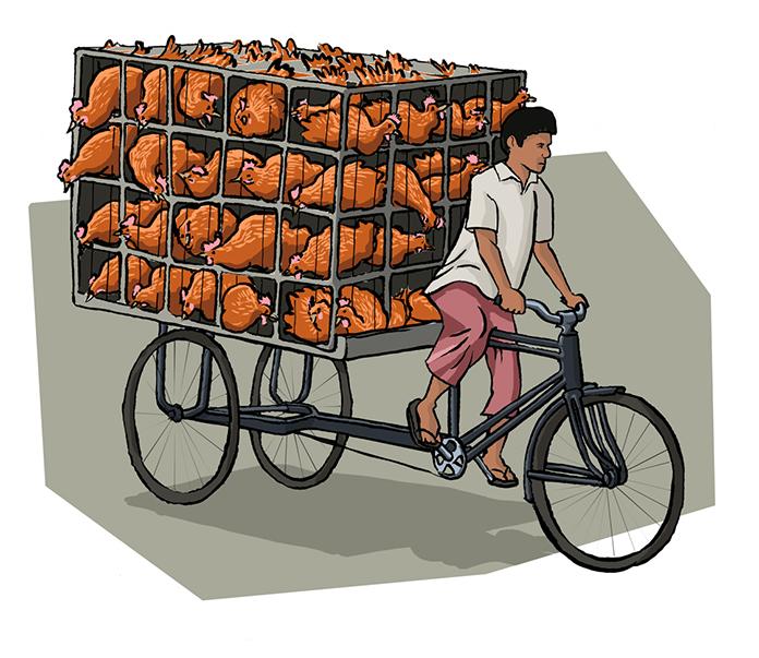 Transporte de frangos em bangladesh - Ilustração para folder explicativo e artigo científico