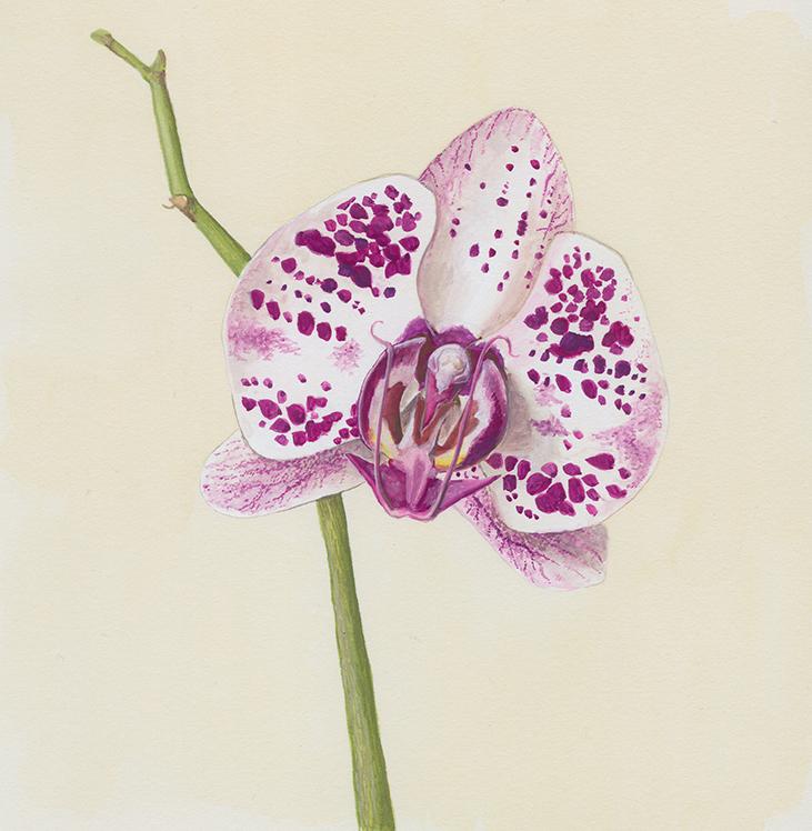 Orquidea - Ilustração em guache
